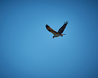 Osprey in flight. Merritt Island National Wildlife Refuge. Image taken with a Fuji X-T2 camera and 100-400 OIS lens