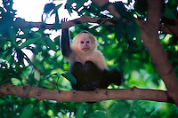 White faced Capuchin monkey (Cebus Capuccinus), Rincon de la Vieja National Park, Costa Rica