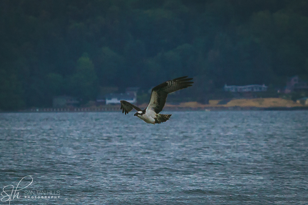 Majestic osprey hovering over water - Dash Point State Park - Federal Way, WA