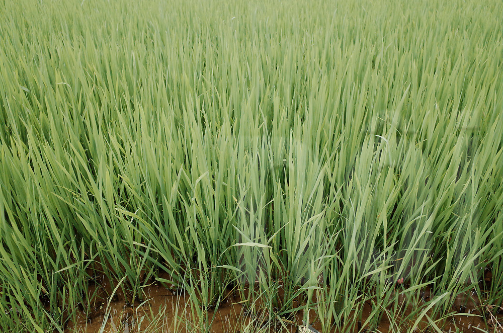 Growth of rice in a field, Vietnam, Southeast Asia