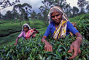 Tea pickers, Kandy plantation