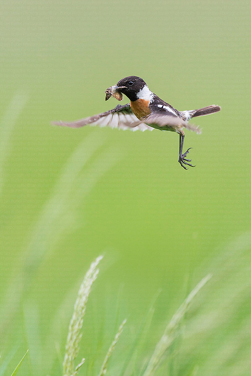 Adult male Stonechat (Saxicola rubicola) hovering above nest site with moth in beak, Pusztaszer, Hungary, May, 2013.