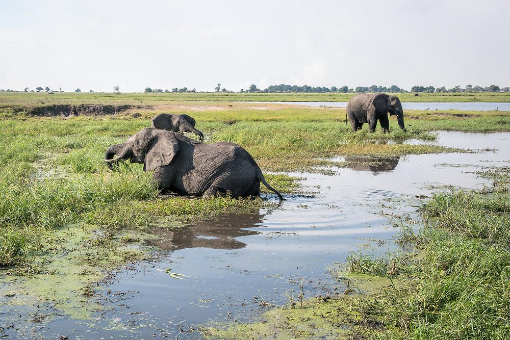 Group of african bush elephants (Loxodonta africana) wade in marshy waters, Chobe National Park - Botswana