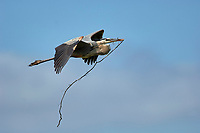 Great Blue Heron (Ardea herodias), bringing a stick to nesting mate, Arthur R Marshall National Wildlife Reserve - Loxahatchee,