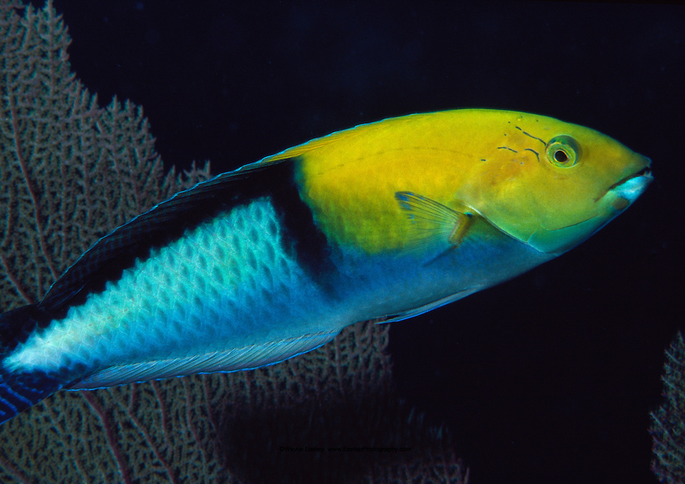 Yellowhead Wrasse (Halichoeres garnoti). Florida Keys