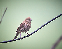 House Finch or Immature Brown-headed Cowbird. Image taken with a Nikon D5 camera and 600 mm f/4 mm VR lens (ISO 1600, 600 mm, f/5.6, 1/800 sec)