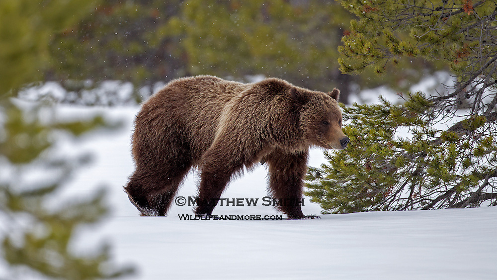 Grizzly Bear #399 photograph in Grand Teton National Park