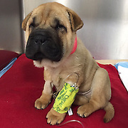 "Critically Ill ""Puppy Mill"" Dog on the Mend after Surgery<br />  <br /> MSPCA-Angell Surgeons and Adoption Center Staff Team up to Give ""Nelson"" a Second Chance<br />  <br /> BOSTON, Dec. 11, 2015 – An adorable nine-week-old puppy who was bought online and shipped from Missouri to Massachusetts by truck arrived in the state so ill he required emergency veterinary intervention at the MSPCA-Angell, the organization announced today.  Now the pup—named ""Nelson""—is on the mend and will be placed for adoption after he recovers.<br />  <br /> The Shar Pei-Pug was brought by his former owner to the MSPCA's Angell Animal Medical Center on Monday, Dec. 7 suffering from lethargy, vomiting and diarrhea.  Nelson had been in Massachusetts for only a week, having endured the 20-hour trip from Missouri in a small cage to reach the state.<br />  <br /> Emergency Surgery<br /> As it turned out Nelson's intestines were entangled and Angell surgeons had to remove a large portion, re-positon and re-insert them into his tiny abdomen. <br />  <br /> Alyssa Krieger, manager of the MSPCA's animal care and adoption center, settled the puppy into the shelter after the owner surrendered him.  ""Thankfully Nelson arrived in our care just in time as he would have died without emergency surgery, which would have been doubly tragic given everything he'd already endured.<br />  <br /> Nelson will be placed in foster care for two weeks, to continue recovering from surgery before he can be placed into a new home.<br />  <br /> Puppy Buyers Beware <br /> Nelson's plight focuses a spotlight on the dangers of ""online only"" pet sales, in which buyers are not able to visit the breeder to inspect conditions or meet dogs before purchasing.  ""This was a classic puppy mill situation and it's not surprising to us that Nelson was so sick—he was likely critically ill before he was even transported to Massachusetts,"" said Krieger. <br />  <br /> ""We encourage everyone to please adopt vs. buying a new pet—but at the very least buyers should be able to inspect a breeder's pr"