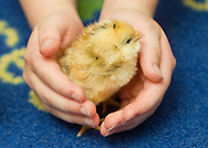Cornwall, New York - A student holds a chicks hatch from chicken eggs in a first-grade classroom at Willow Avenue Elementary School on June 20, 2014. ©Tom Bushey / The Image Works