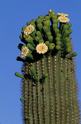 North America, United States, Arizona, Saguaro National Monument, ribs, spine and flowers of Saguaro cactus (Carnegiea gigantea); grow to 50' in 150 years.