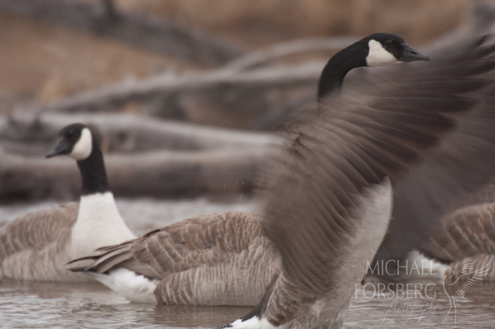 Nebraska Sandhills. Peterson Ranch.<br /> <br /> Canada geese wintering along Blue Creek.<br /> <br /> Blue Creek stays open even in the deepest cold of winter, fed by powerful underground springs from the Ogallala aquifer below.