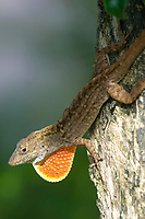 Cuban Brown Anole (Anolis sagrei sagrei), flashing throat fan, in garden shrubs, Wellington, Florida, USA   Photo: Peter Llewellyn