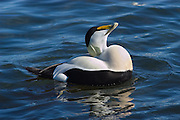 The common Eider is very common bird in Iceland as the name suggests.