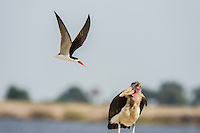 An African Skimmer dive-bombing a Marabou Stork that has predated on the skimmers nest colony with eggs and chicks, Chobe River, Kasane, Botswana.