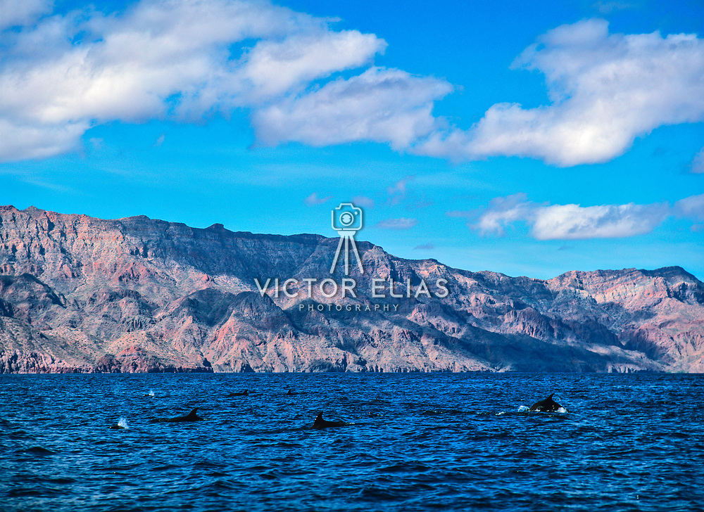Dolphins off the coast of Loreto. Baja California Sur, Mexico.