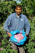 Portrait of a rose farmer harvesting rose flowers in Kelaat M'Gouna, Dades Valley - known as the 'valley of roses' - Southern Morocco, 2016-05-14.<br /> <br /> When the roses begin to bloom and the picking season begins, people from all around the region secure work harvesting the flowers in the fields. Pickers who do not own their own land and need work during the harvesting season can expect to be paid 13-15dh for each kilo of roses and it is possible to earn 100dh in a day, if few breaks are taken. <br /> <br /> The picking season lasts for around 3 weeks and while the roses are in full bloom the entire valley of Kelaat Mgouna quite literally 'smells of roses.' Stepping down into the rose valley, only a short walk from the main roadside, feels like a different world to the nearby festival celebrations in the town centre. No noise or pollution from traffic, only birdsong and a gentle calmness in the air as the day breaks and the locals peacefully go about their work.