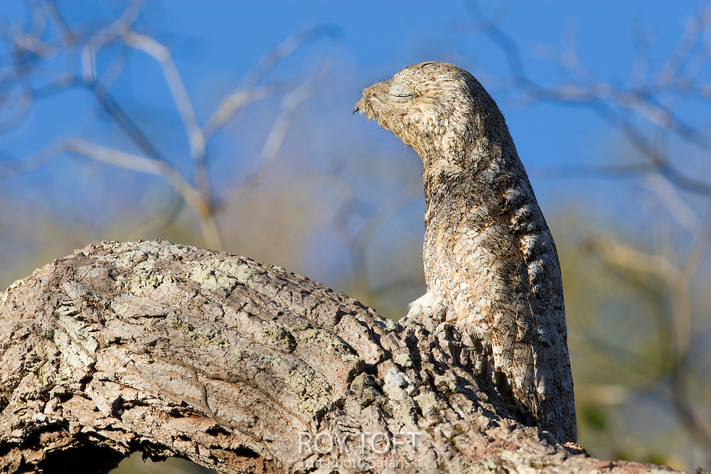 Great Potoo perched on a tree branch, Mato Grosso, Pantanal, Brazil