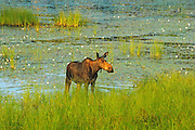 Moose (Alces alces) in wetland<br /> Algonquin Provincial Park<br /> Ontario<br /> Canada