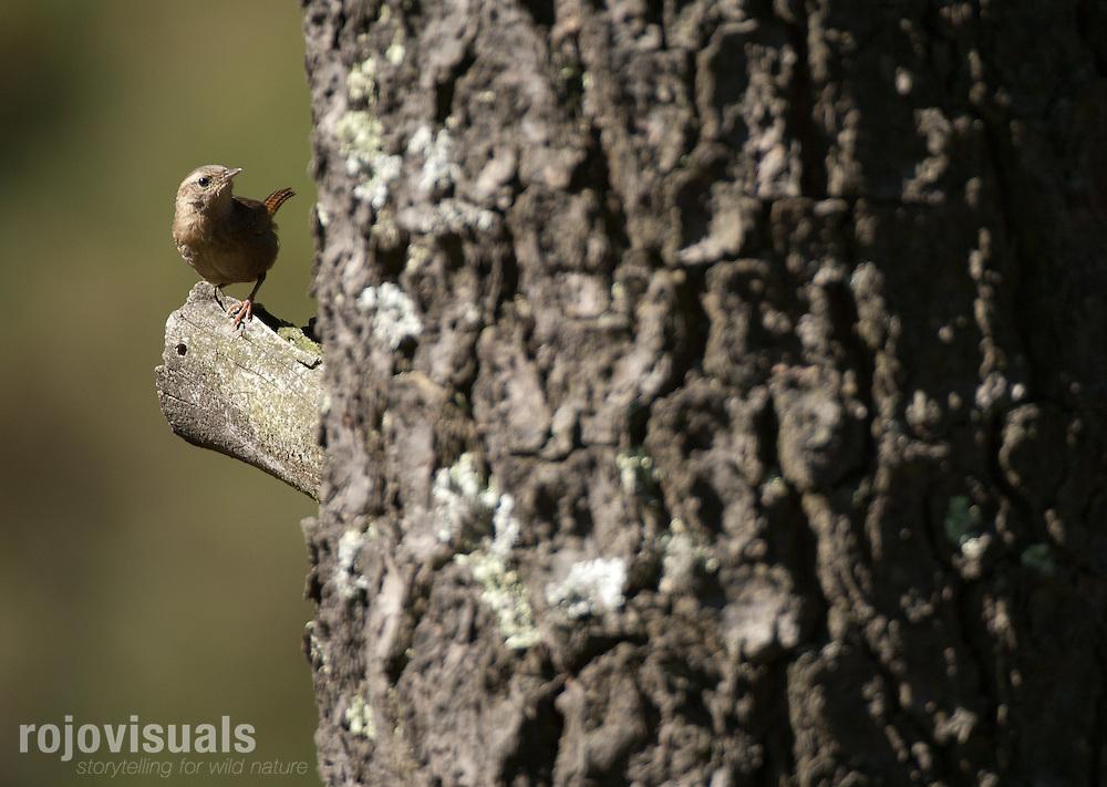 Brown-throated wren (Troglodytes brunneicollis).Las Palomas. Morelos State. MEXICO