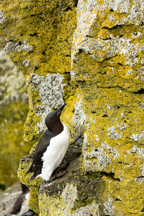 Thick-billed Murre perched on cliff overlooking Bering Sea on coast of St. Paul Island in Southwest Alaska. Summer. Afternoon.