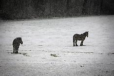 Horses in snows