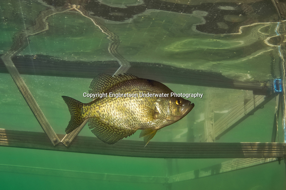 Black Crappie (under boat dock)<br />
