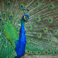India blue peacock displays magnificent train feathers while calling.  The trumpet-like call of peafowl (a loud kee-ow) advertises the presence of the male.