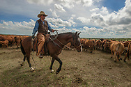Rancher, cartoonist, Wally Badgett, horse Egor, ropes and drags calves to fire, cattle branding, Lazy TL Ranch, north of Miles City, Montana