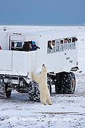 01874-11216 Polar bear (Ursus maritimus) near Tundra Buggy, Churchill, MB