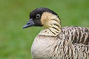 Hawaiian Goose on Kauai, the Hawaiian state bird and an endangered species