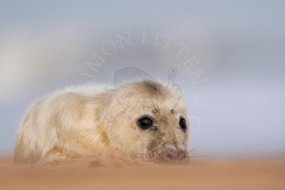 Grey Seal (Halichoerus grypus) whitecoat pup, resting on sandy beach, Norfolk, England.
