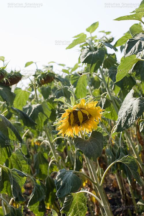 """Bulgaria is a major supplier of sunfloweroil, and large fields of sunflowers can be seen in the Burgas area..The sunflower (Helianthus annuus) is an annual plant in the family Asteraceae and native to the Americas, with a large flowering head (inflorescence). The stem can grow as high as 3 meters (9 3/4 ft), and the flower head can reach 30 cm (11.8 in) in diameter with the """"large"""" seeds. The term """"sunflower"""" is also used to refer to all plants of the genus Helianthus, many of which are perennial plants...Bulgaria er en stor leverandør av solsikkeolje, og store åkre med solsikker kan sees i Burgas-området..Solsikke er en plante som kan bli opp til fire meter høy. Stengelen er kraftig og ruhåret, og med en opprett vekst. Blomstene er store, og kan bestå av inntil 40 cm brede blomsterkurver med gule, brune eller rødaktige blad. Solsikke er relativt lettdyrket, men krever at visse vekstvilkår er oppfylt for å utvikles maksimalt. Den trives best med full sol og varm temperatur (helst over 20 celsius). Solsikken er en grådig plante som krever mye vann og næring."""