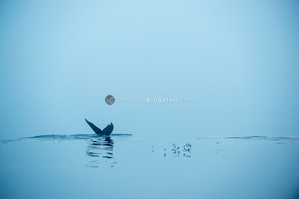 A humpback whale (Megaptera novaeangliae) tail in the blue early morning light near Petersburg, Alaska.