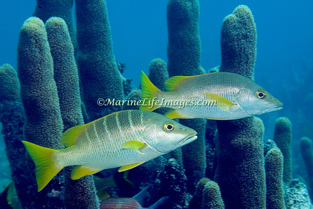 Schoolmaster inhabit reefs in Tropical West Atlantic; picture taken Key Largo, FL.