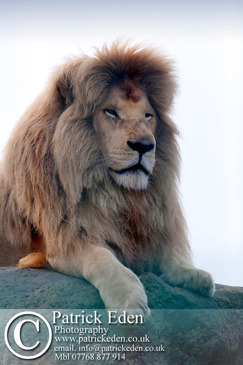 Animal Mammal African Lion  Sandown Zoo Isle of Wight England UK Photographs of the Isle of Wight by photographer Patrick Eden photography photograph canvas canvases