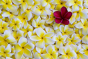 A single red plumeria site amongst yellow and white plumeria.
