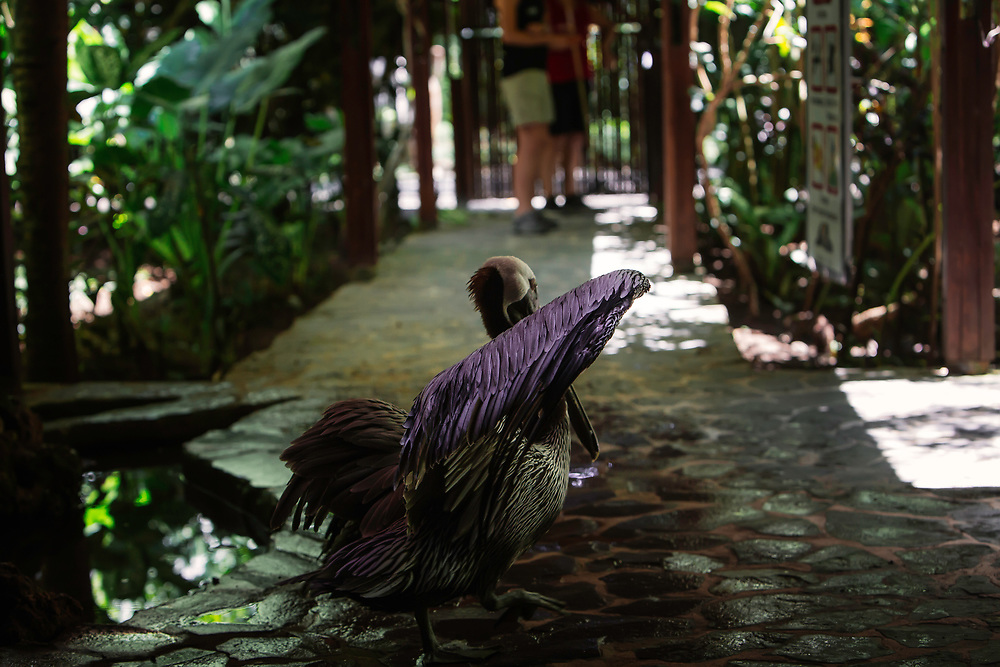 Brown pelican walks grounds at Jaguar Rescue Center, in Punta Cocles, Costa Rica. Copyright 2017 Reid McNally.