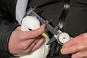 Measuring a Kittiwake (Rissa tridactyla). Staff from Náttúrustofa Norðausturlands (Northeast Iceland Nature Research Centre) catch seabirds at Skoruvíkurbjarg bird cliffs on Langanes Peninsula, Iceland to fit and replace geolocators to monitor the bird's movements.