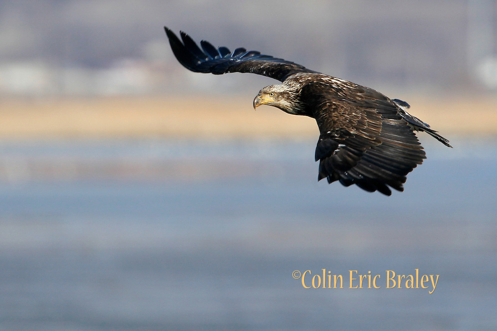Haliaeetus leucocephalus-A juvenile Bald Eagle at Farmington Bay,  Utah, March, 2011.  Colin E Braley (Wild West-Media)