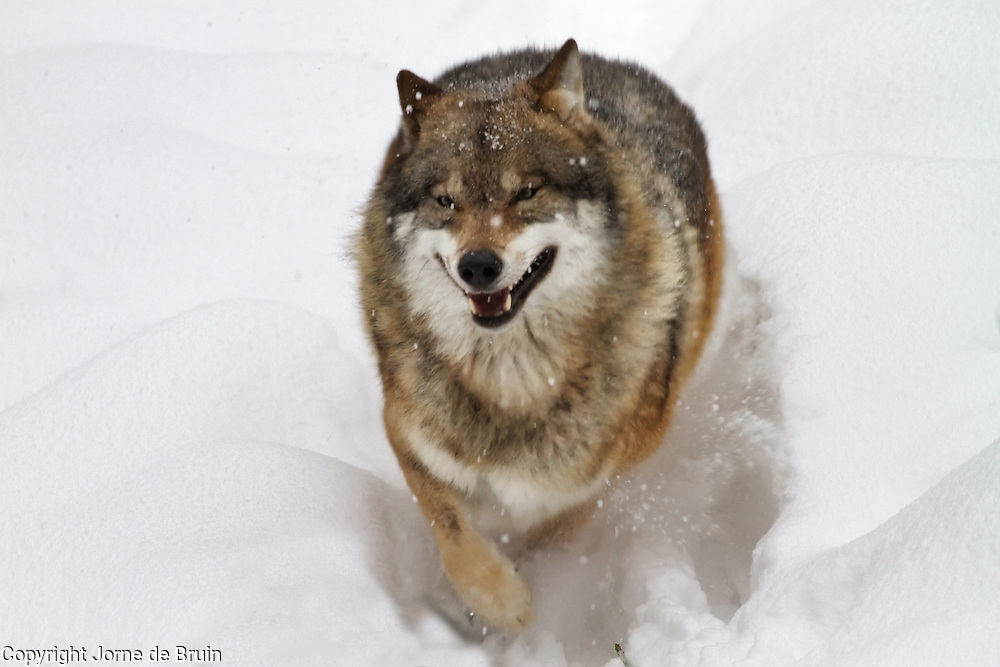 A wolf is running through the snow in the wildlifepark of the Bavarian Forest.