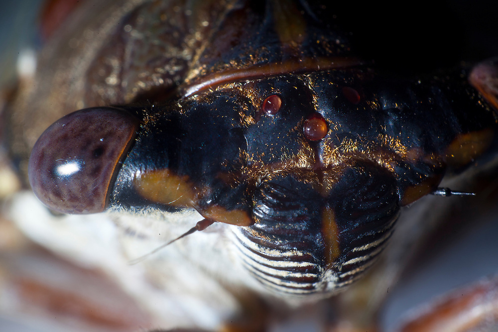 This Cicada has two compound eyes containing hundreds of lenses and three simple eyes or occeli located in the center of its head.