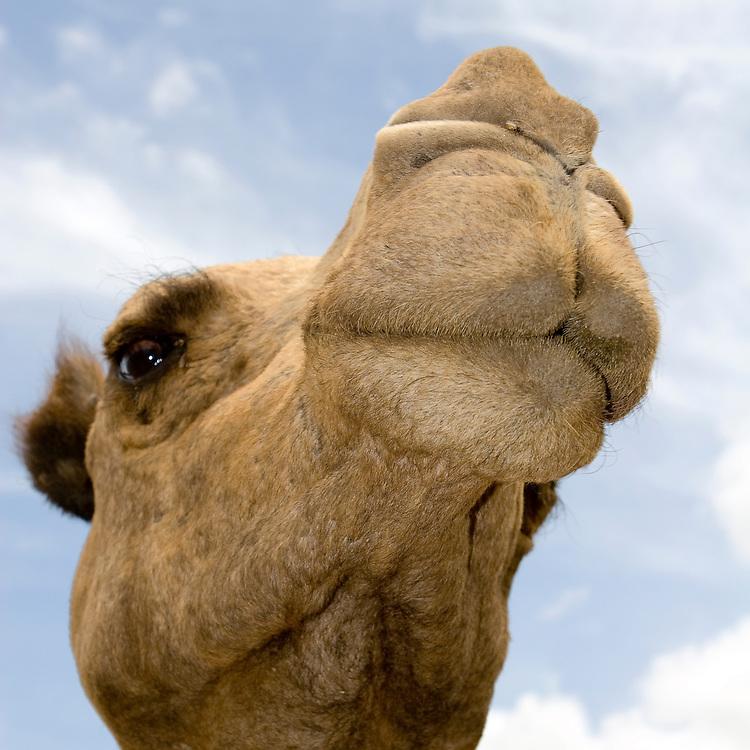 (Camelus dromedarius) Closeup Look at the Face of a Camel