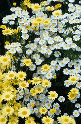 Anthemis tinctoria 'E.C.Buxton' with a double feverfew.