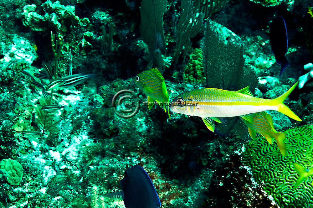 Yellow Goatfish, Mulloidichthys martinicus, Grand Cayman