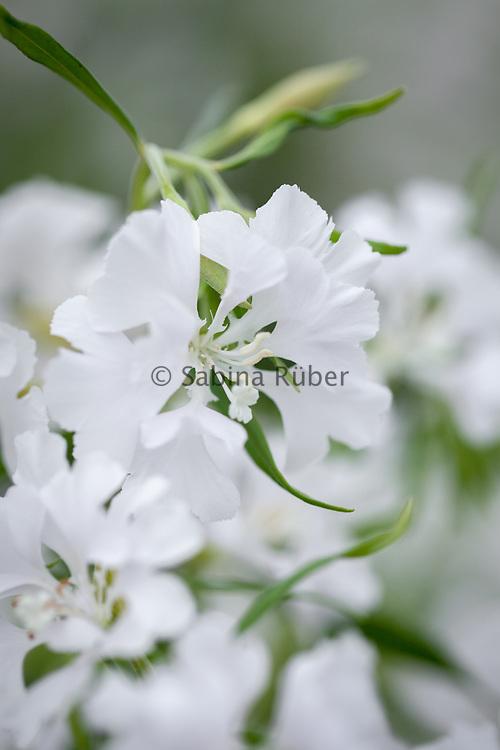 Clarkia pulchella 'Snowflake' - farewell-to-Spring