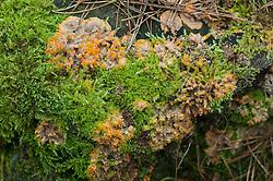 Oranje aderzwam, Phlebia radiata
