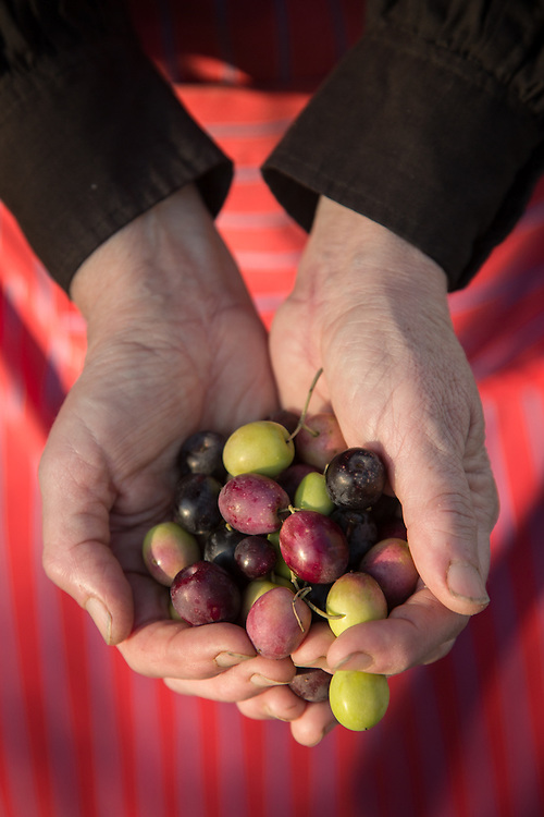 A volunteer assists with the olive harvest on the north side of Calistoga.