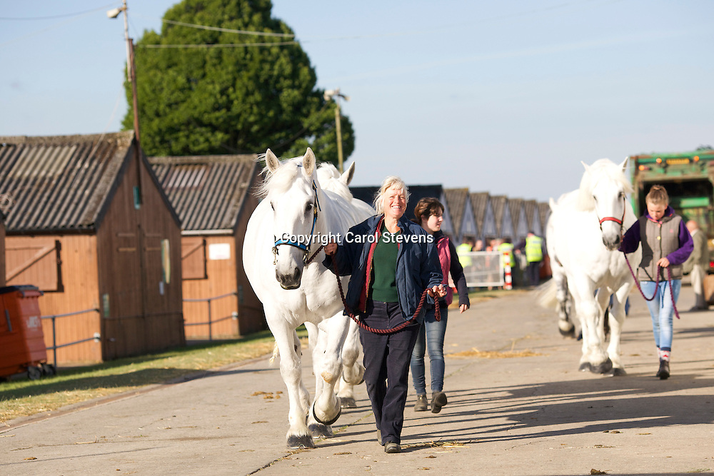Mary Fuller leading the Fuller's Percherons back to the stables following their early morning walk