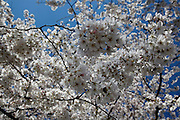 Washington, District of Columbia, USA, 20090330:   The annual spectacular cherry blossom has started in Washington. The peak is set to be between April 1st and 4th. <br /> <br /> Photo: Orjan F. Ellingvag/ www.camera-eye.com *** Local Caption *** The National Cherry Blossom Festival is DC's signature springtime event. The 2009 Festival is March 28 – April<br /> <br /> 12, and features daily cultural performances, sporting events, arts & crafts, demonstrations and other special<br /> <br /> events. The National Cherry Blossom Festival celebrates the 97th anniversary of the gift of the cherry blossom<br /> <br /> trees and the enduring friendship between the citizens of the United States and Japan.