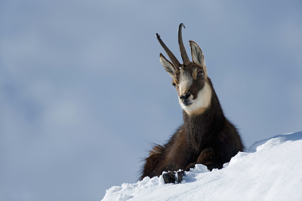 30.11.2008.Chamois (Rupicapra rupicapra) laying on snow..Gran Paradiso National Park, Italy
